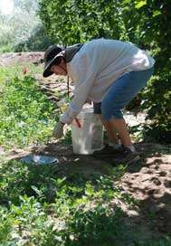 Technician checking pheromone-baited pitfall trap in hop row