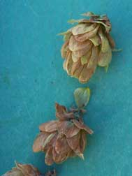 TSSM-damaged hop cones