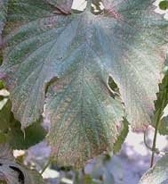 TSSM-damaged hop leaf stippling