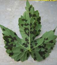 Hop plant leaf with downy mildew spots