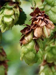 Hop cone with downy milder