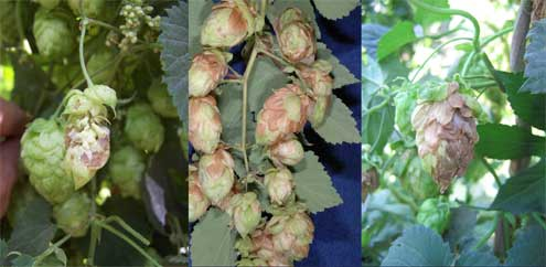 Various photos of powdery mildew infection on hops