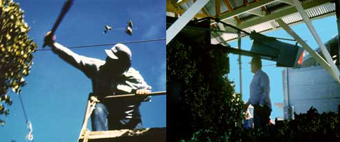 Hop workers at harvest (left) and picking/sorting (right)