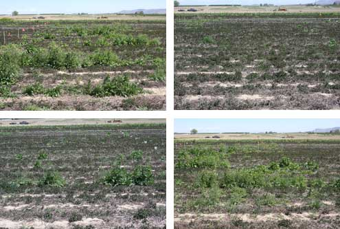 Visible results of four herbicide treatments